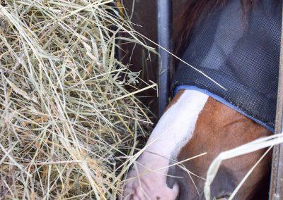 Heustation-fressendes Pferd